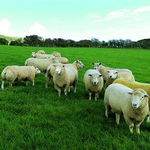 Hrabstwo Dorset słynie z produkcji doskonałej żywności, między innymi znakomitej jagnięciny