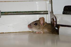 Szczury w domu - dlaczego się pojawiają, jak je zwalczać?