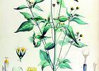 Żółtlica - niedoceniane dzikie warzywo. Właściwości i zastosowanie
