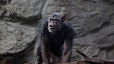 Małpa [zdjęcie ilustracyjne]