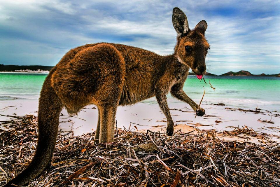 Dziko żyjący kangur nie jest w Australii widokiem niezwykłym. Nie należy się jednak do niego zbliżać, bo może zaatakować