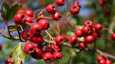 Głóg - roślina lecznicza dobra na serce i nadciśnienie