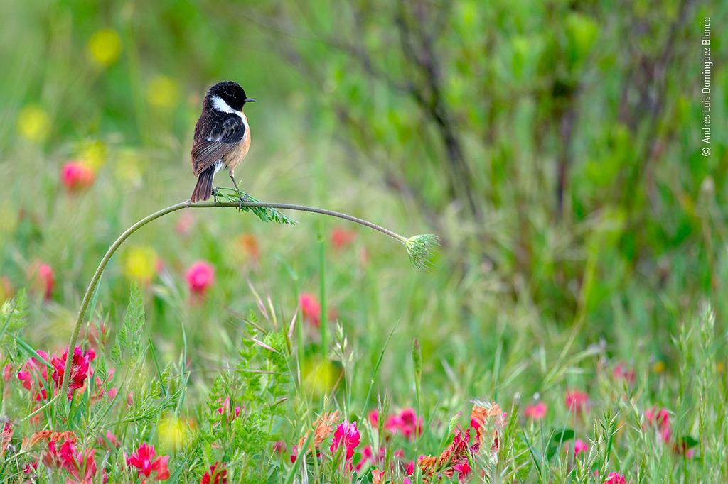 Wildlife Photographer of the Year 2020: kląskawka
