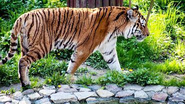 Tygrys syberyjski Altaj w zoo w Myślęcinku