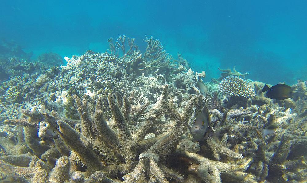 Jest szansa na ratunek dla Wielkiej Rafy Koralowej