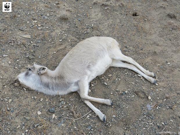 Antylopy z trąbą masowo padają ofiarą kłusowników (fot: WWF Mongolia)