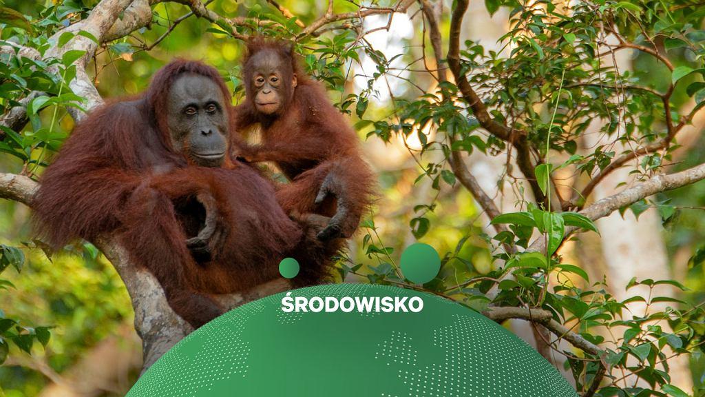 Masowa uprawa oleju palmowego zagraża orangutanom