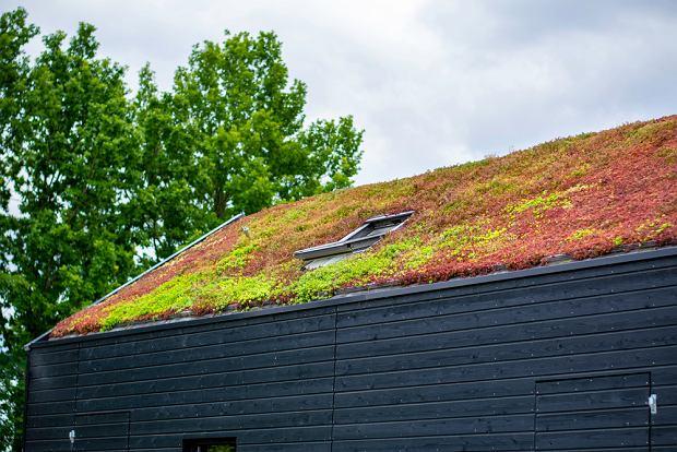 Rozchodnik pokrywający dach budynku. Zdjęcie ilustracyjne