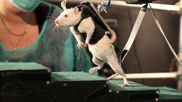 Narodowa Politechnika w Lozannie. Doświadczenia prowadzone na szczurach, przez szwajcarskiego naukowca Gregorie Courtine, dające nadzieję sparaliżowanym ludziom.