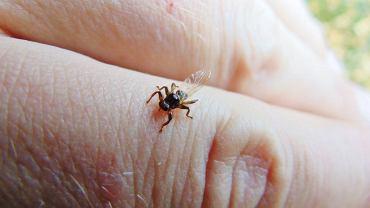 'Latające kleszcze', czyli strzyżaki jelenie. Czym są te owady? Czy są niebezpieczne?