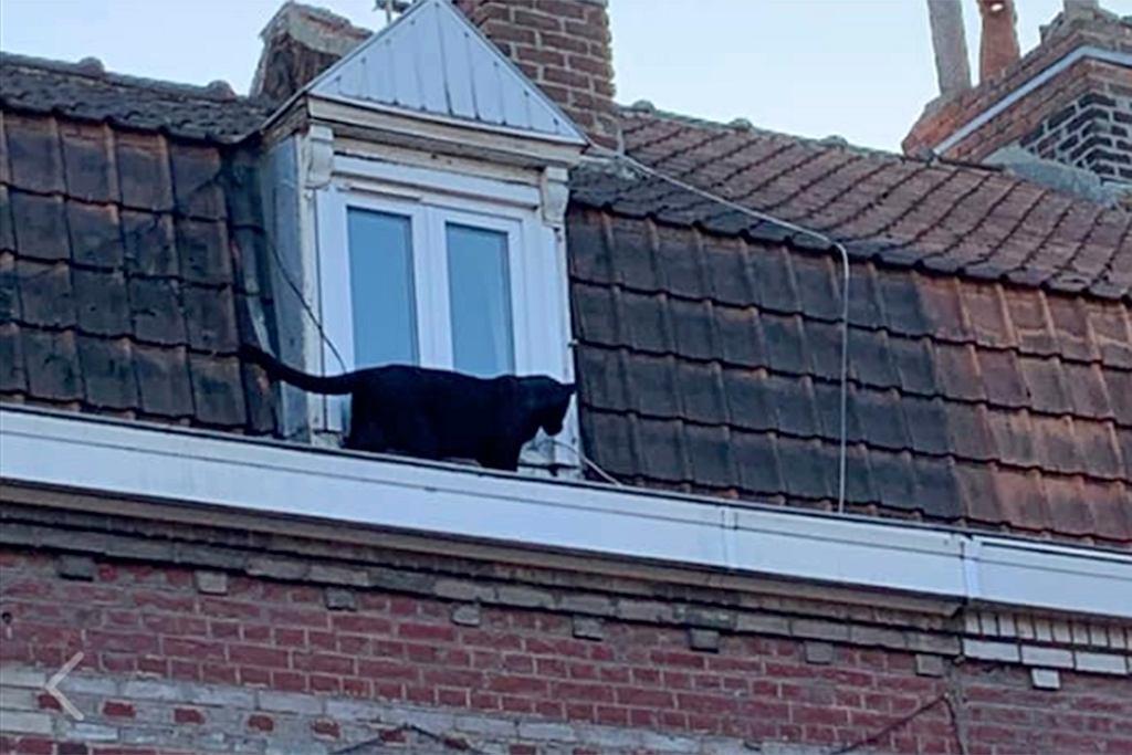 Północna Francja. Pantera przechadzała się po dachu
