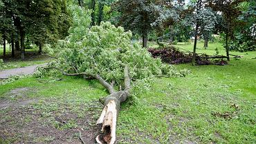 Powalone drzewo (zdjęcie ilustracyjne)