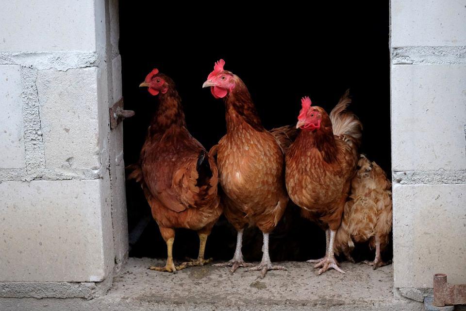 Kury na wolnym wybiegu.