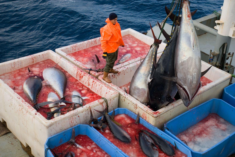 Połów tuńczyka błękitnopłetwego u wybrzeży Turcji (fot. Shutterstock)