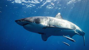 USA. Atak rekina podczas nurkowania. 30-latka uratowała ciężarna żona