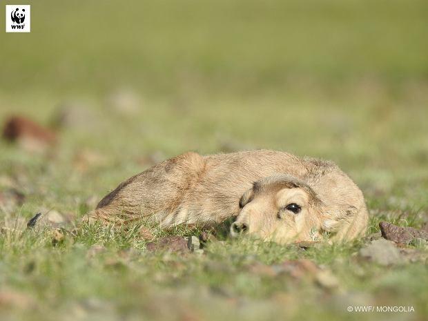 Fundacja WWF Polska rusza właśnie z kampanią, dzięki której możemy suhaka  uchronić przed wymarciem (fot: WWF Mongolia)