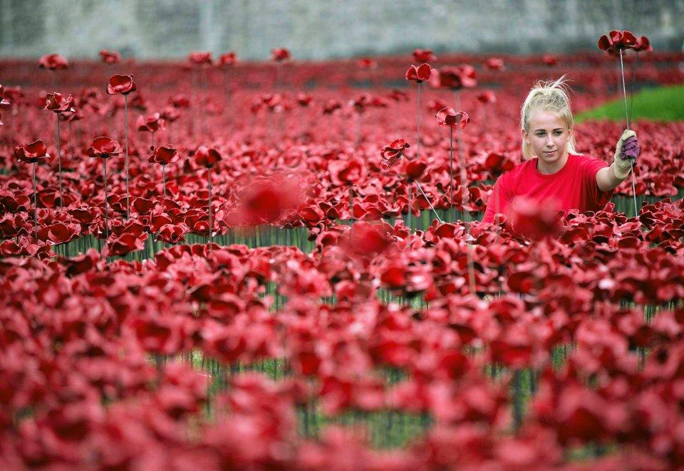 Blisko milion czerwonych, ceramicznych maków przyozdobiło Tower of London. Ta niezwykła instalacja artystyczna to hołd Brytyjczyków dla żołnierzy, którzy zginęli podczas I wojny światowej. Na zdjęciu: wolontariuszka pracuje przy montażu instalacji