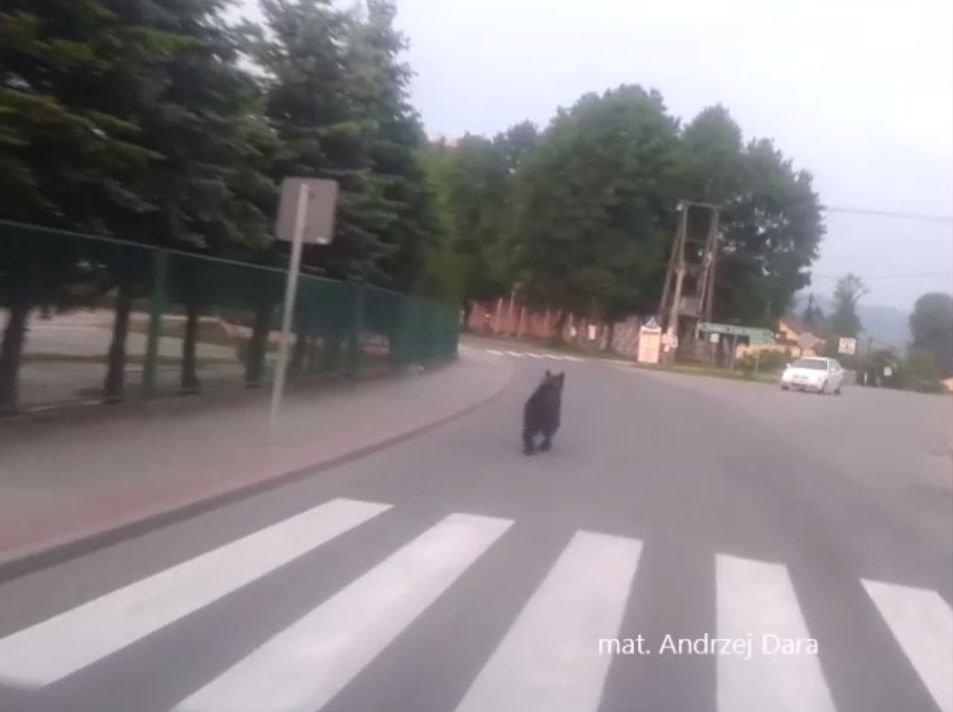 Niedźwiedź w Gołkowicach Górnych - kadr z filmu