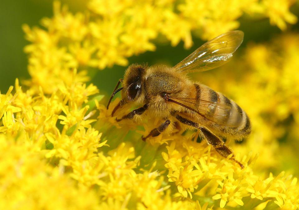 Pszczoła miodna na nawłoci kanadyjskiej