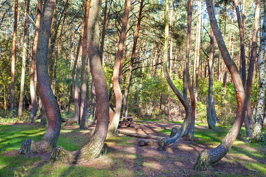 'Krzywy las'