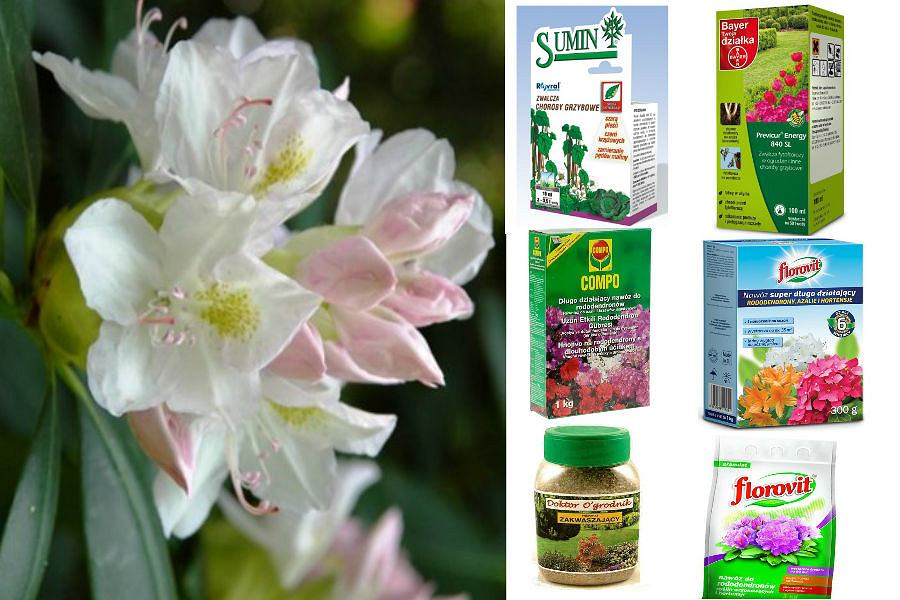 Rododendrony, azalie, preparaty