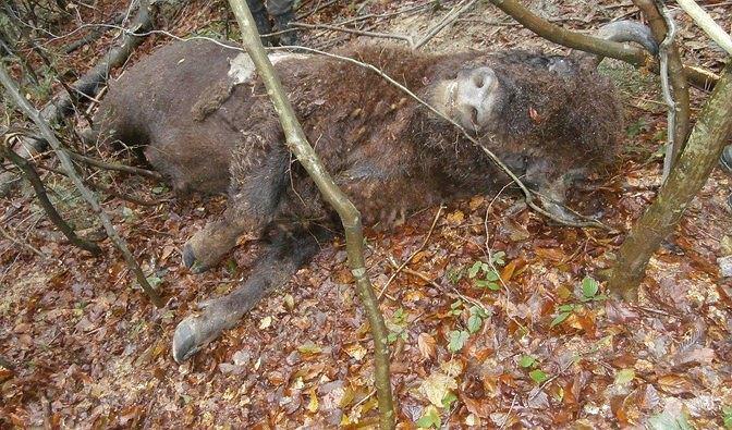 Dwa martwe żubry znalezione w lesie niedaleko Olchowej