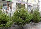 Choinka to obowiązkowy element świąt. Jakie drzewko wybrać? Ekspert: Zwracajmy uwagę na stan igieł
