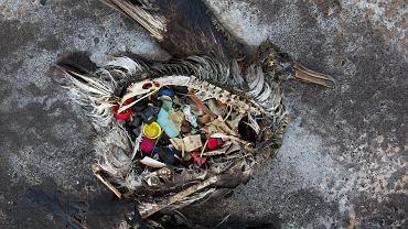 Ptaki zdychają, bo mają jelita tak wypełnione plastikiem, że nie mogą jeść