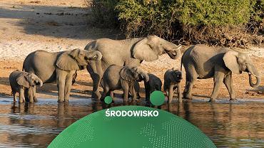 W Botswanie w tajemniczych okolicznościach zginęło ok. 360 słoni