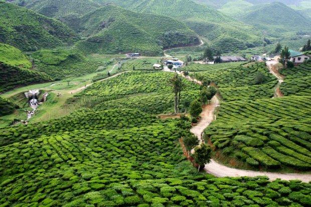 Herbaciane wzgórza Cameron w Malezji / fot. Shutterstock
