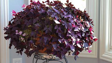 Szczawik to bardzo dekoracyjna roślina. Zdjęcie ilustracyjne