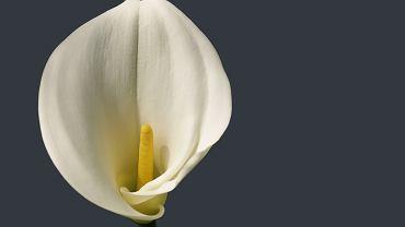 Kalia - elegancki kwiat idealny do domu i ogrodu