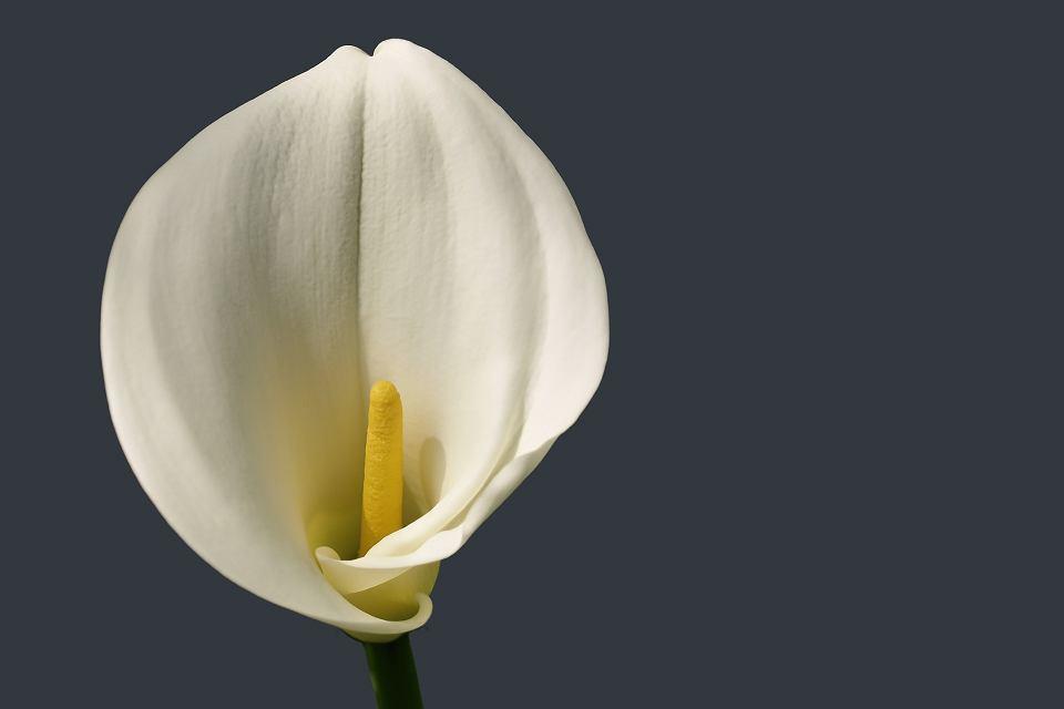 Kalia Elegancki Kwiat Idealny Do Domu I Ogrodu