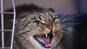 Syczący kot