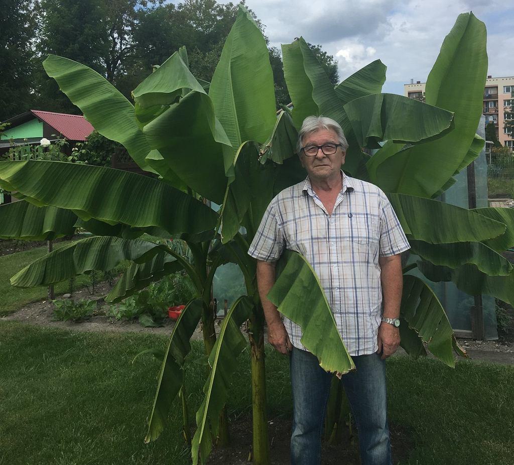 Pan Jacek Gaj i jego bananowiec - wyhodowany od nasionka