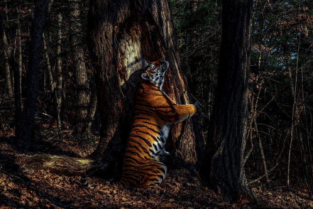 Wildlife Photographer of the Year 2020: tygrysica