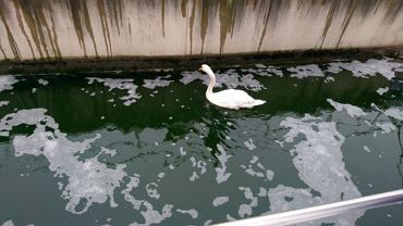 Strażnicy miejscy musieli ratować łabędzia. Ptak utknął w kanale ściekowym na Białołęce