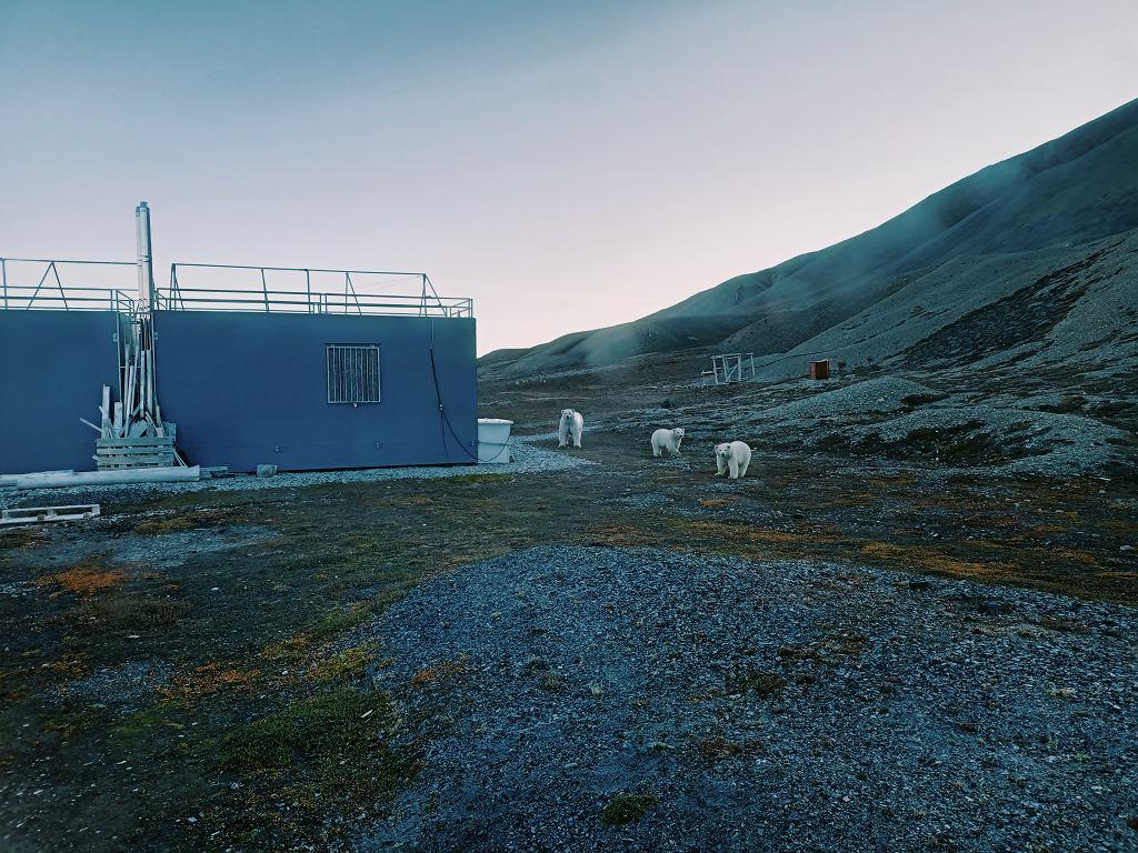 Niedźwiedzie polarna - matka z dwójką młodych - przy stacji polarnej UAM w Zatoce Petunii (Petuniabukta) na Spitsbergenie.