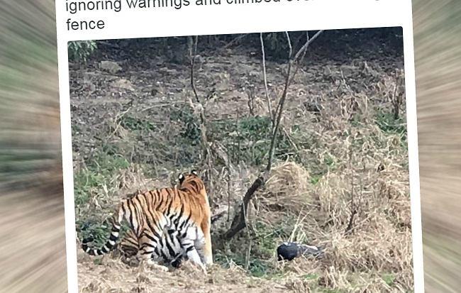 Wszedł do wybiegu dla tygrysów w chińskim zoo