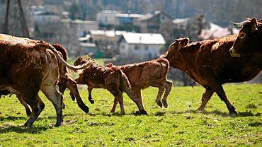 Mazowsze. Osiem byków uciekło z gospodarstwa. Policja apeluje o ostrożność (zdjęcie ilustracyjne)
