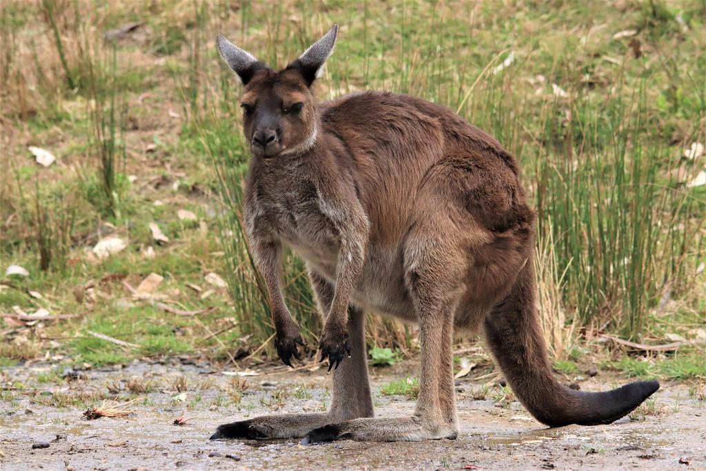 kangur (zdjęcie ilustracyjne)
