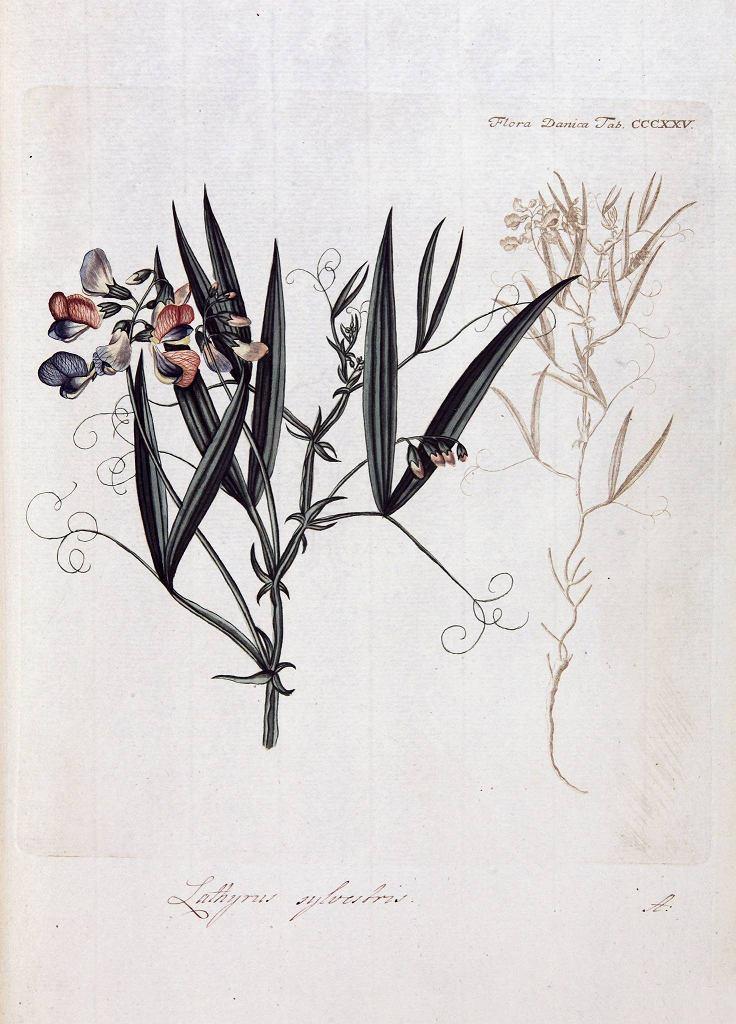 Lathyrus sylvestris (Groszek leśny), Flora Danica, t. 6, Kopenhaga 1767, tab. CCCXXV / Mat. prasowe