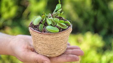 Muchołówka jest rośliną chętnie uprawianą w domu. Zdjęcie ilustracyjne