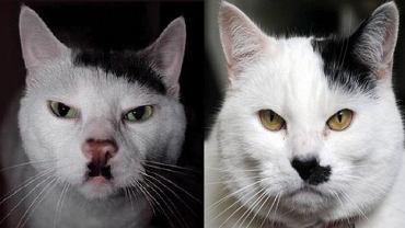 Kot, który wygląda jak Hitler