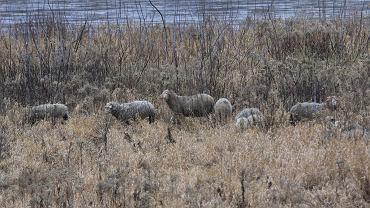 Owce na wyspie