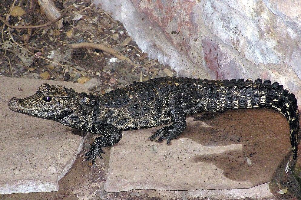 Czechy. Krokodyl Mireczek znalazł się w piwnicy właściciela