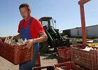 Problemy niemieckich plantatorów szparagów. Polacy nie przyjadą pracować