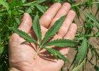 THC Made in USA, czyli jak w Ameryce zarabiają na marihuanie