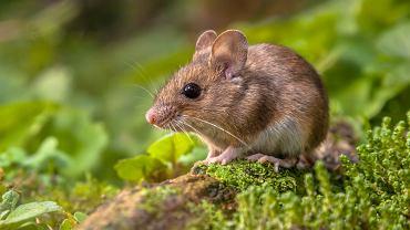 Sennik - mysz. Zdjęcie ilustracyjne