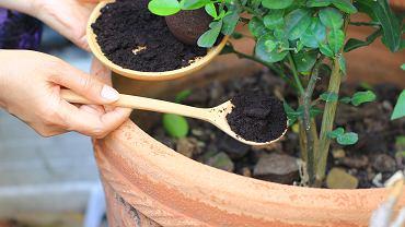 Fusy z kawy jako nawóz to idealne rozwiązanie dla wielu roślin. Zdjęcie ilustracyjne